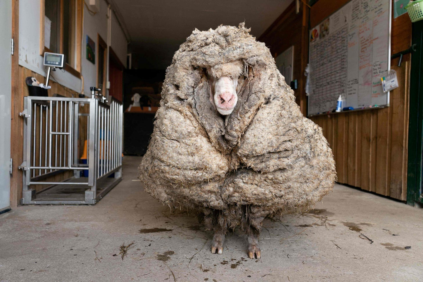 Wild Aussie sheep yields an enormous 35-kilogram fleece   Daily Sabah