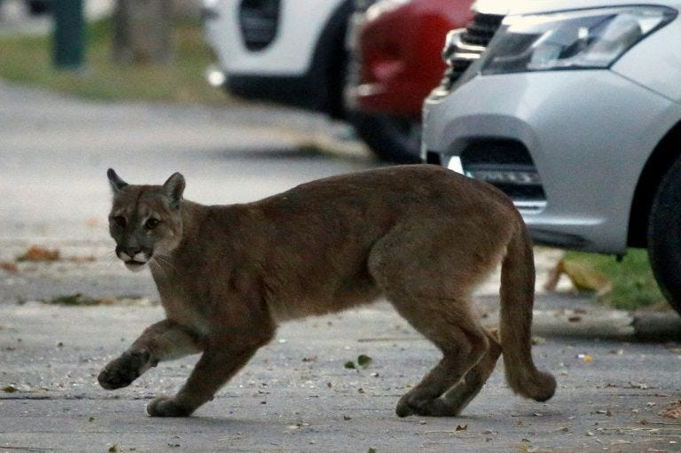 Animals take back world's empty city streets during lockdown, Animals take back world's empty city streets during lockdown video, Animals take back world's empty city streets during lockdown pictures