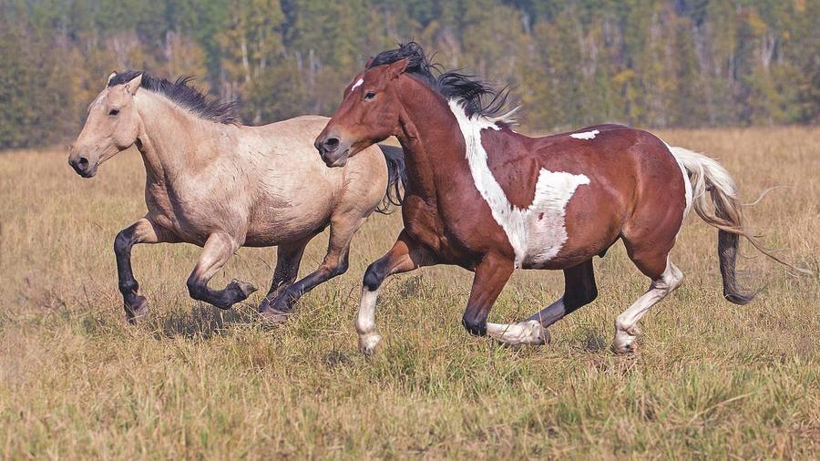 Running Horses by Gary Samples