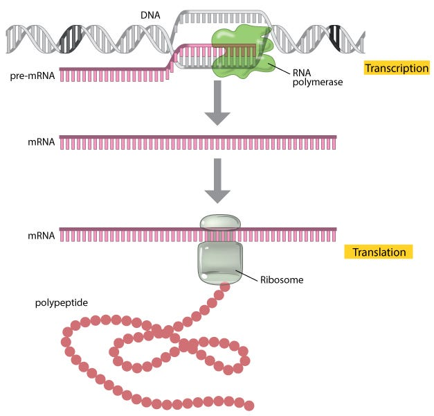 A schematic diagram shows the transcription and translation processes in three basic steps. First, DNA is transcribed into RNA, and then the new mRNA is processed to form a mature mRNA transcript. Finally, the mature mRNA is translated into a protein.