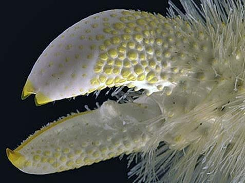 Yeti Crab - Grows Its Own Food In Its Hair | Crab, Beautiful sea creatures,  Weird fish