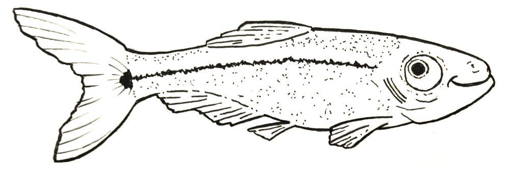 Ink drawing of a minnow, swimming to the right and smiling.
