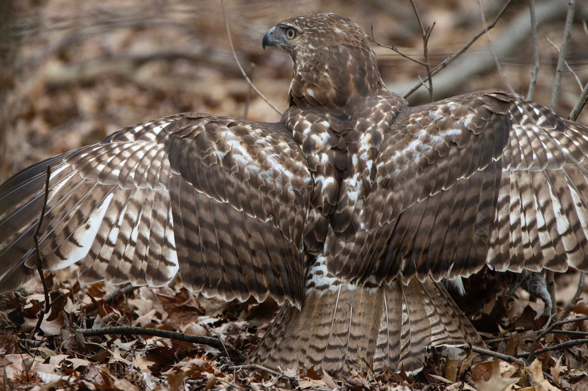 Image result for red tailed hawk camouflage
