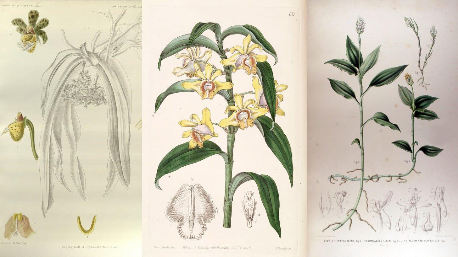 extinct orchids