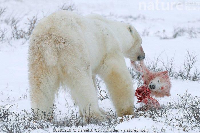 Polar Bear (Ursus maritimus) male feeding on cub he caught and killed from cub's mother, Manitoba, Canada  ,  Adult, Baby, Blood, Cannibalism, Canada, Color Image, Cub, Day, Dead, Feeding, Full Length, Head, Horizontal, Infanticide, Male, Manitoba, Nobody, One Animal, Outdoors, Photography, Polar Bear, Predator, Prey, Rear View, Snow, Threatened Species, Ursus maritimus, Vulnerable Species, Wildlife, Winter,Polar Bear,Canada  ,  Daniel J. Cox
