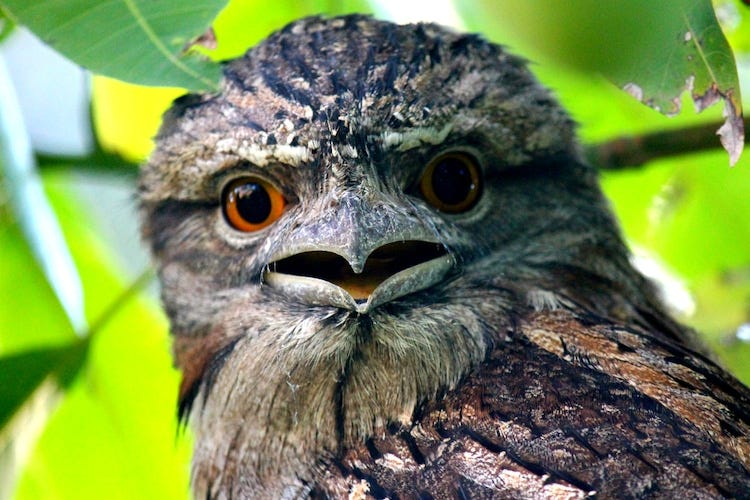 Adorable Frogmouth Birds Charm with Their Distinct Expression