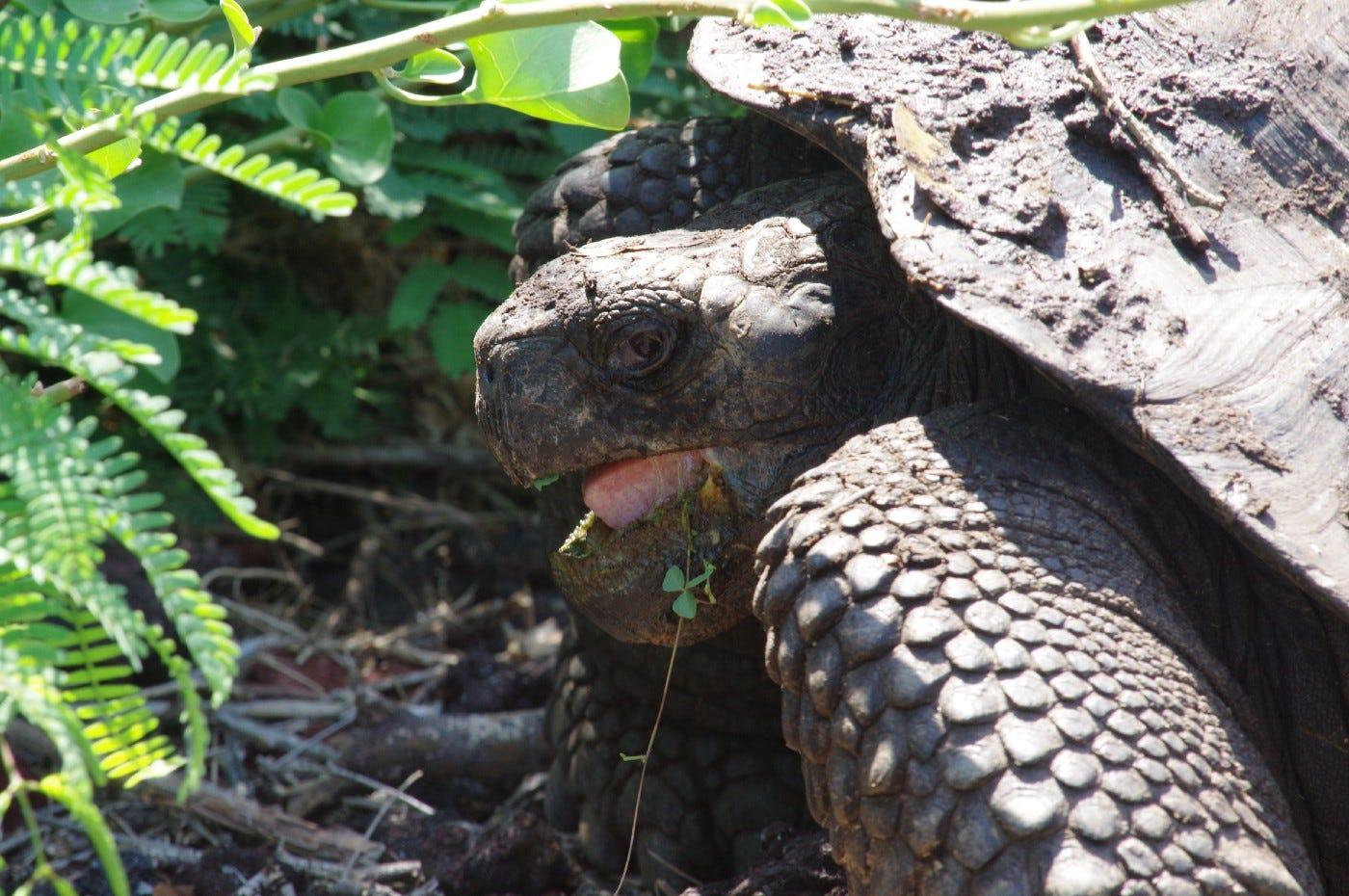 Land tortoise, Galápagos. Photo by Bret, 3-30-16