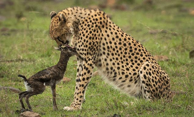 Cheetah mistakes newborn gazelle for one of its own cubs before finally  killing it | Daily Mail Online