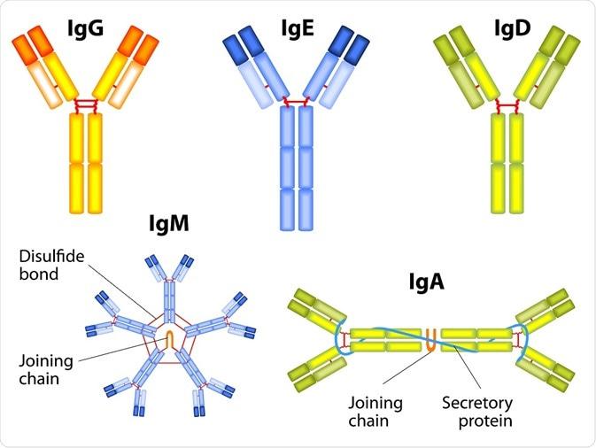 Antibody Types: IgM, IgA, IgD, IgG, IgE and Camelid Antibodies