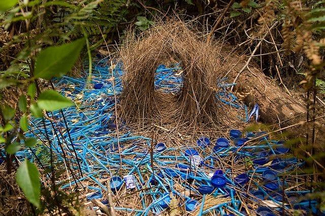 Satin Bower Birds Bower | Beautiful birds, Bird nest, Bird