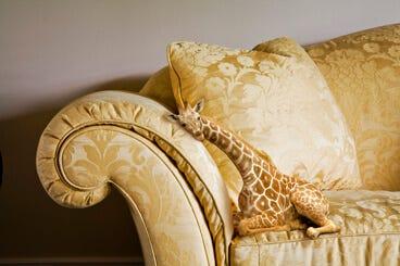 A lap giraffe