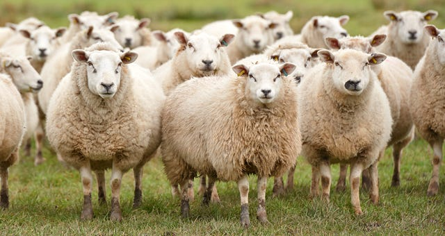 SHEEP (noun) definition and synonyms | Macmillan Dictionary