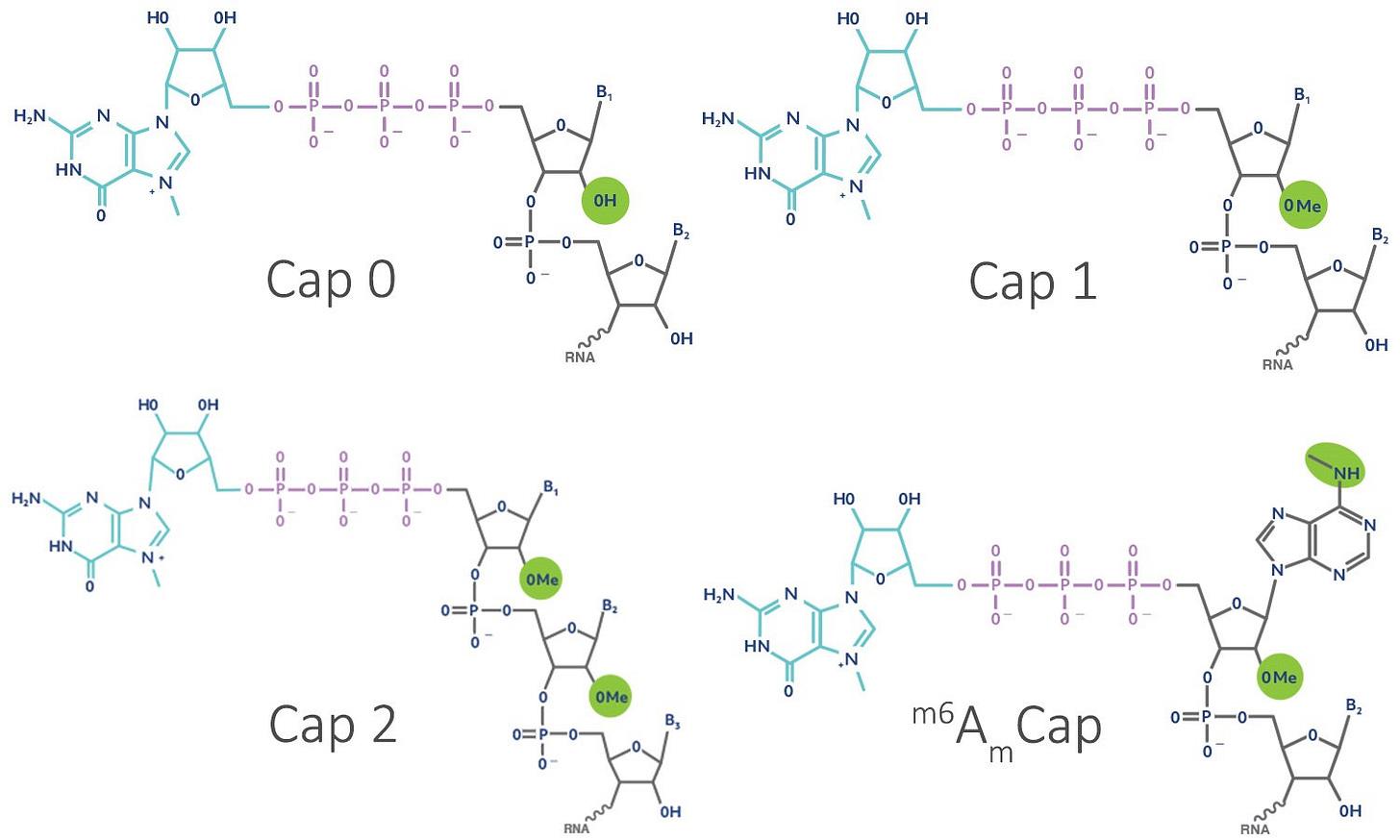mRNA 5' Caps