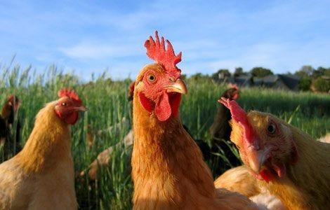chicken-farm-animals-0375106_14440_600x450