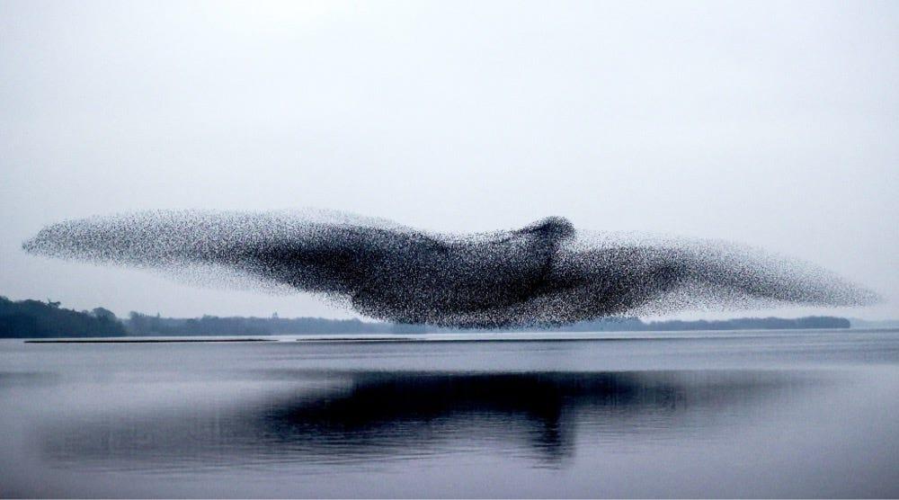 Murmuration Bird Shape
