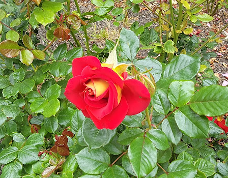 Photo of a single, partially-opened rose. The outsides of the petals are yellow and the insides of the petals are red.