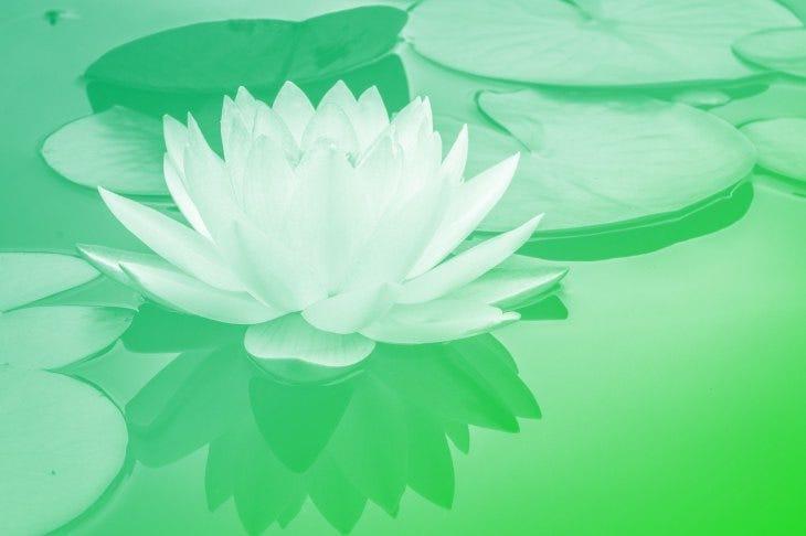 a lily on a pond