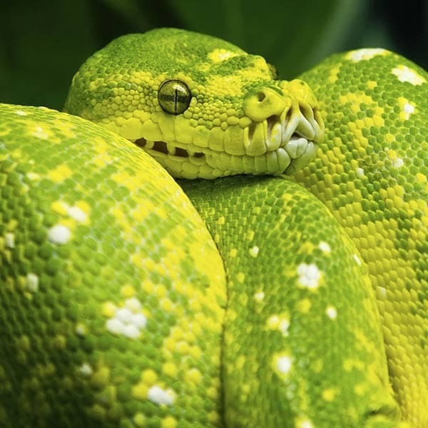 Boa Constrictor Reptile Breed Hypoallergenic, Health and Life Span | PetMD
