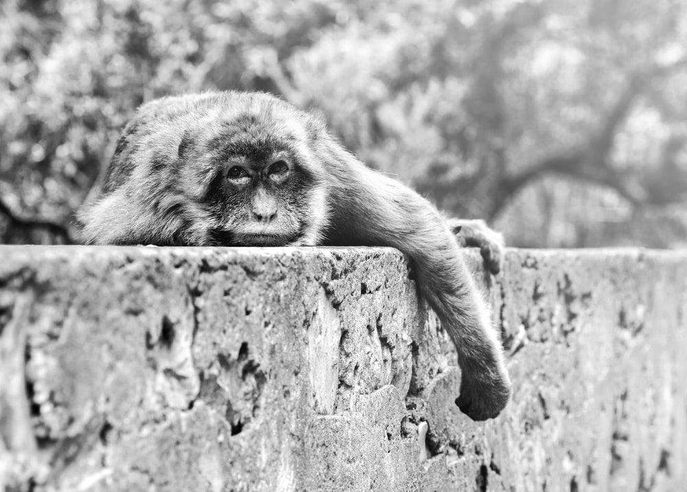 monkey on tree trunk in grayscale photography