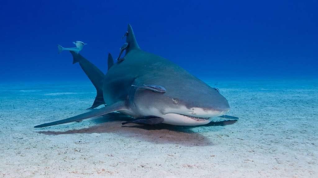 Photo   Le rémora, suceur de requin