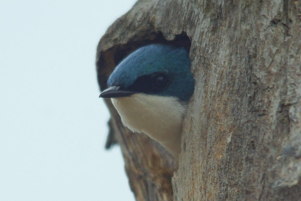 """""""Peek-A-Boo Tree Swallow"""" by chumlee10 is licensed under CC BY-SA 2.0"""