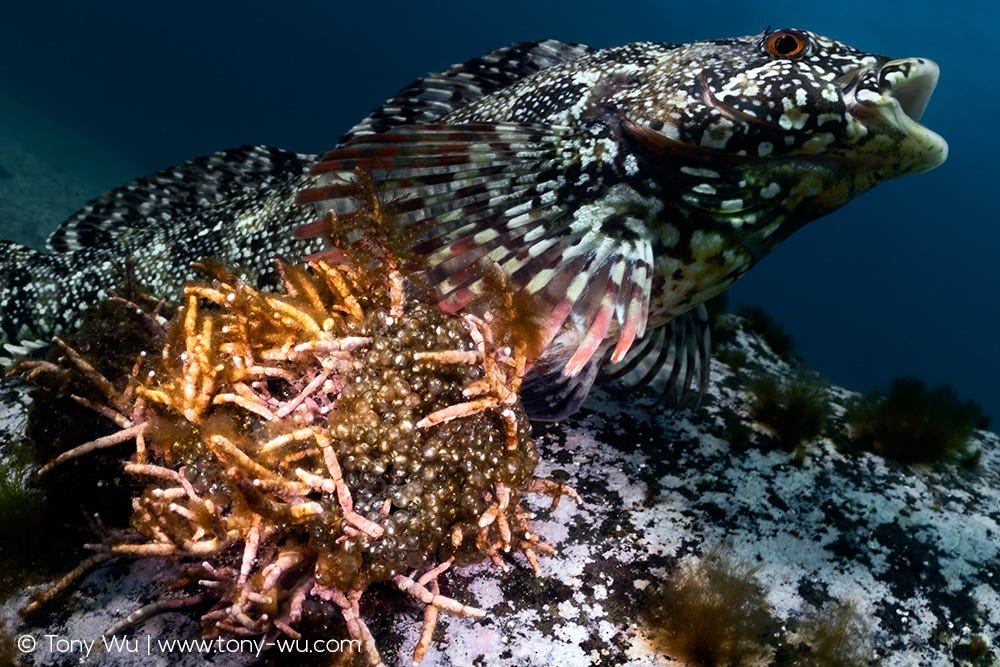 Spotty-bellied greenling protecting eggs, Hexagrammos agrammus