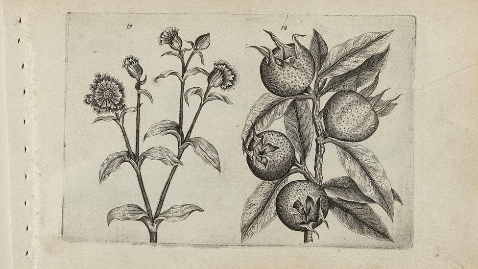 A drawing of medlar fruits from around 1600 (Credit: Alamy)