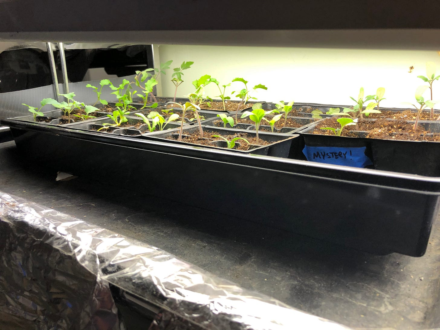 """A seedling tray full of small plants under a grow light. One of the cels has a piece of tape that has """"Mystery!"""" written on it."""