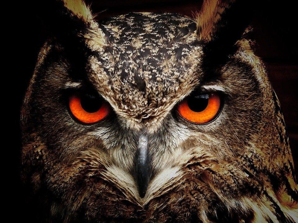 Owl, Bird, Animal, Bird Of Prey, Wildlife, Fauna
