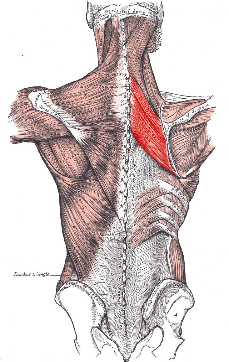 Rhomboid muscles - Wikipedia