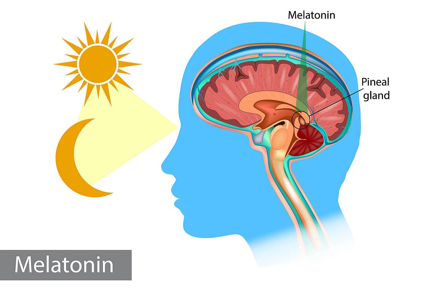 Glándula pineal: la reguladora de ciclos y el ojo vestigial - Mejor con  Salud