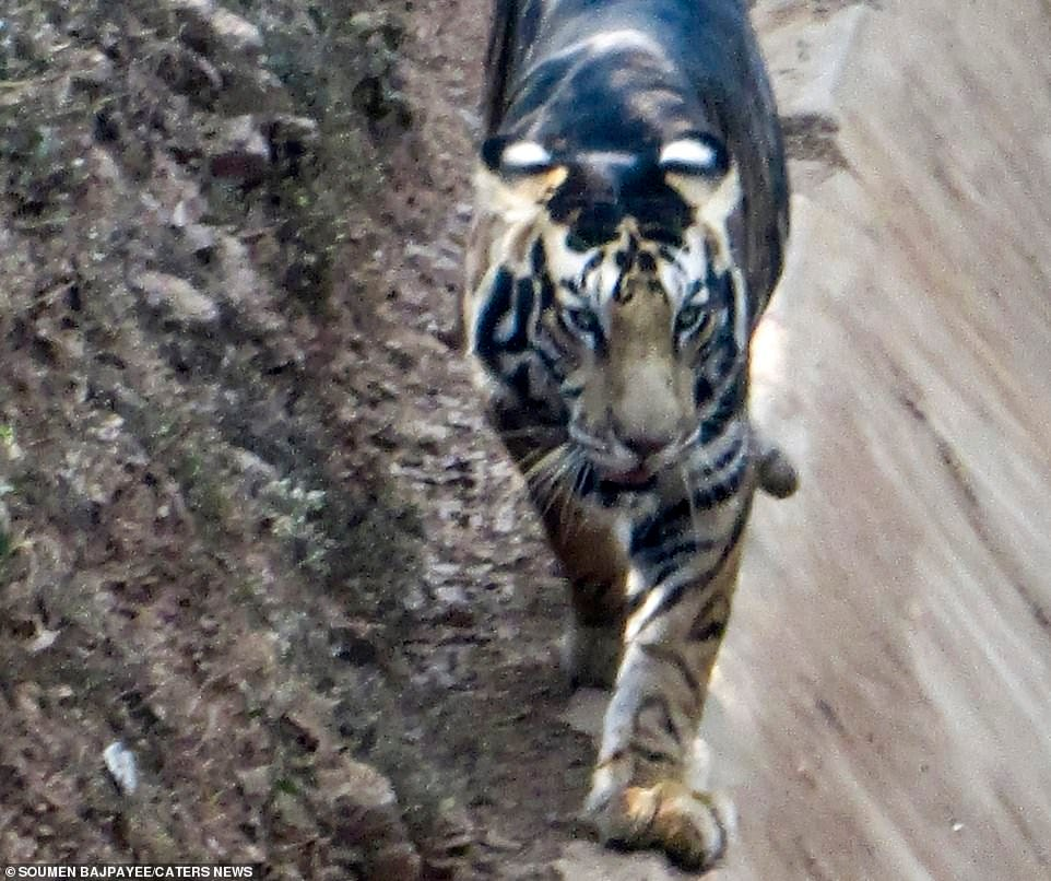 The rare black tiger was spotted in eastern Odisha, India, by amateur photographerSoumen Bajpayee