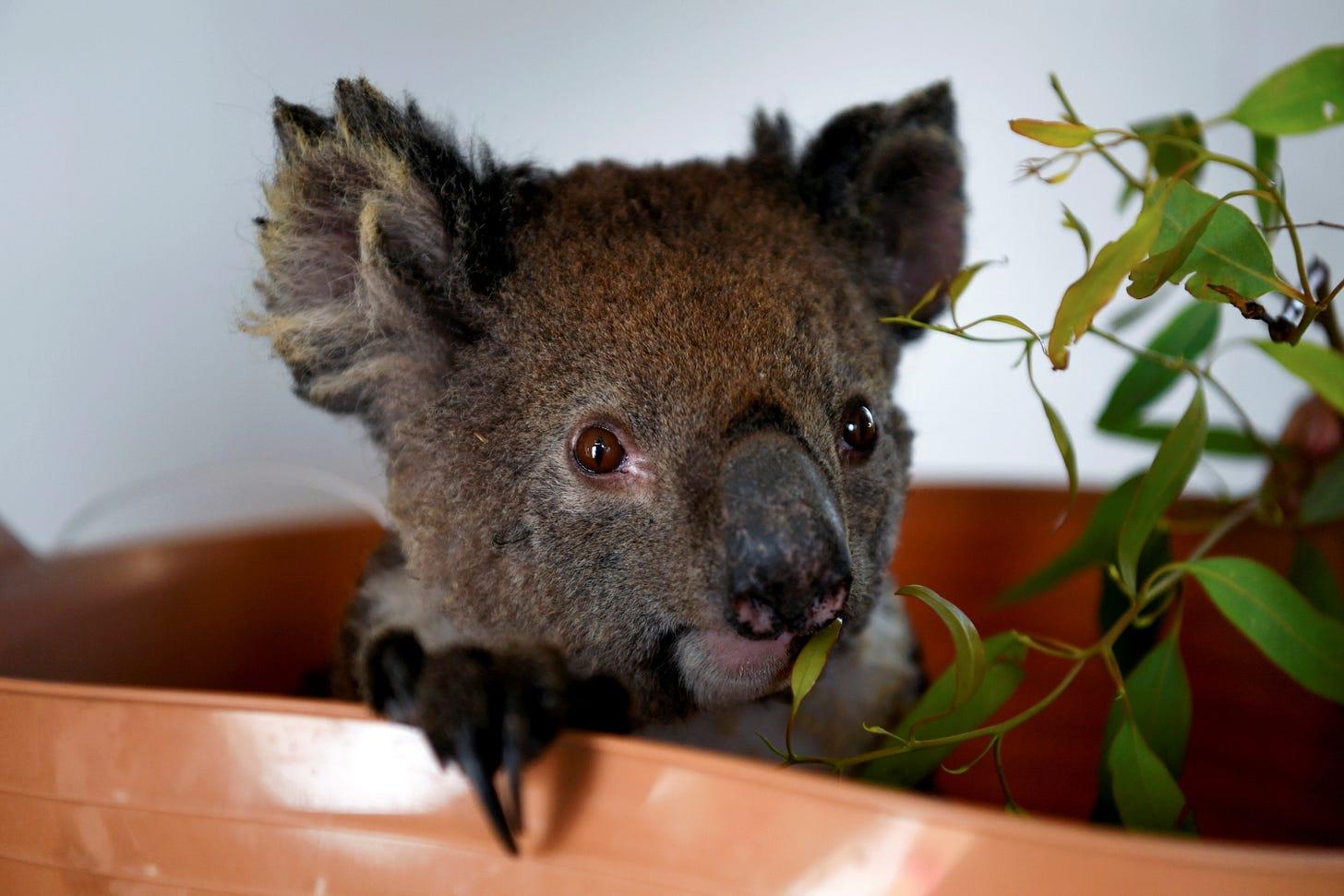 An injured koala is treated at the Kangaroo Island Wildlife Park, at the Wildlife Emergency Response Centre in Parndana, Kangaroo Island, Australia January 19, 2020. REUTERS/Tracey Nearmy/File Photo