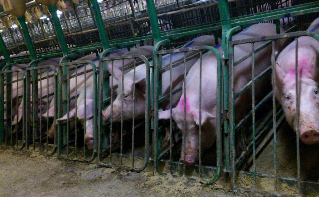 """""""Undercover Investigation at Manitoba Pork Factory Farm"""" by Mercy For Animals Canada is licensed under CC BY 2.0"""