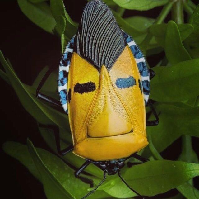 Image result for man faced stink bug