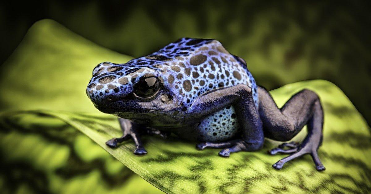 Poison Dart Frog Animal Facts | AZ Animals