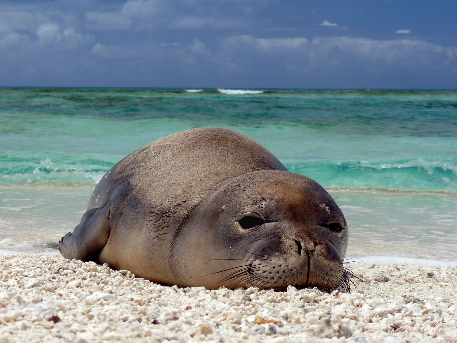 File:Hawaiian monk seal at French Frigate Shoals 07.jpg - Wikimedia Commons