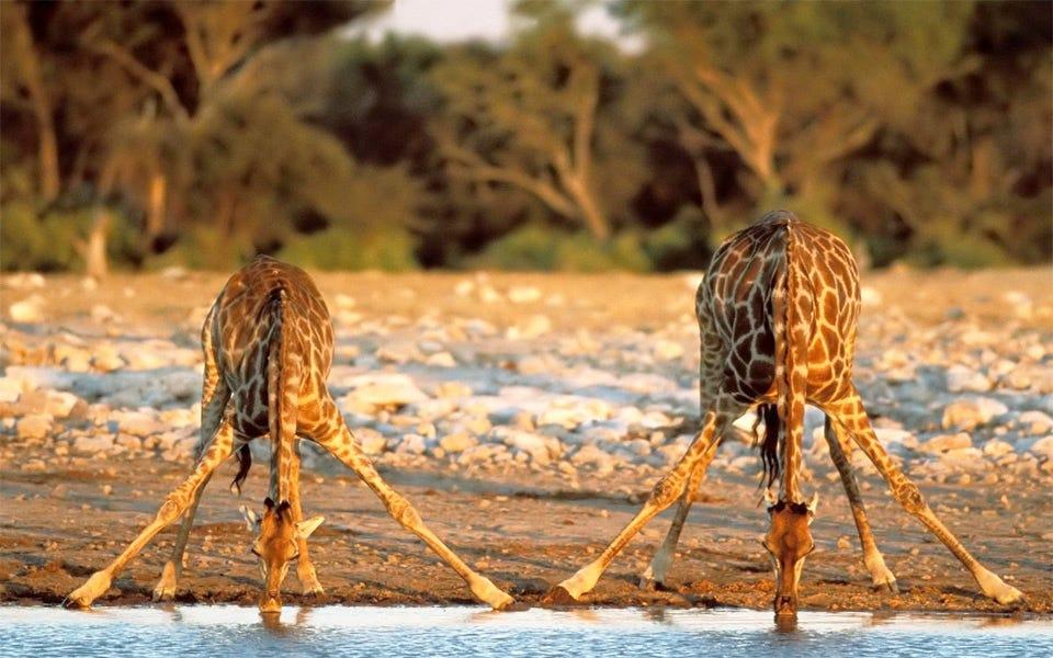 two giraffes drinking water photo   One Big Photo