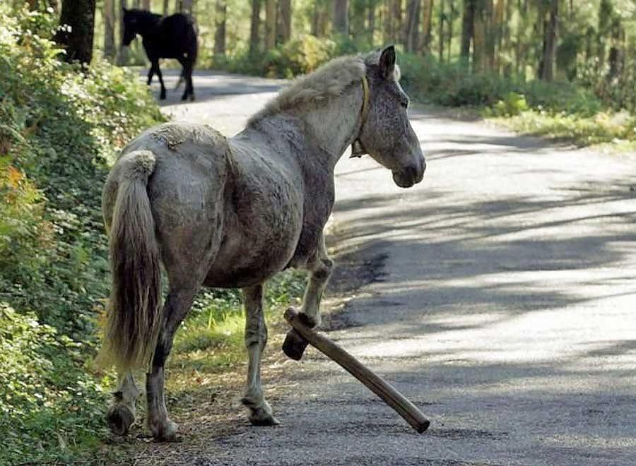 Slår hardt ned på heste-hobbling - SI - Spania i dag