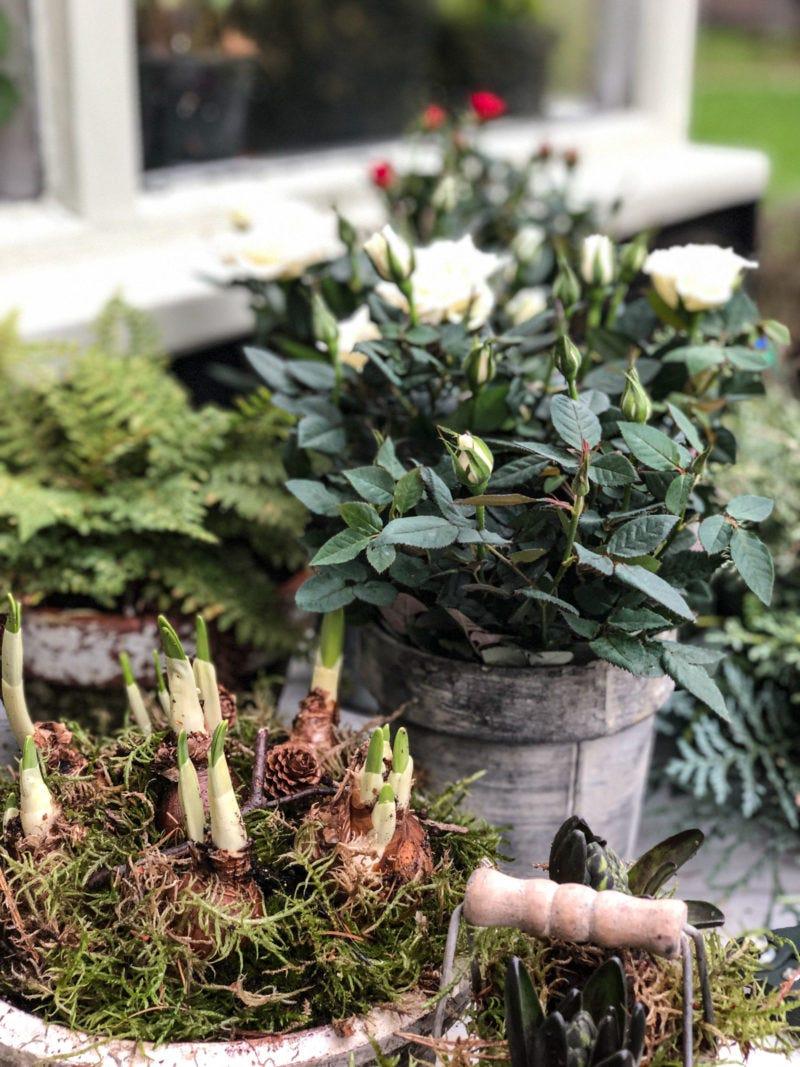 Christmas planters to take you into spring.