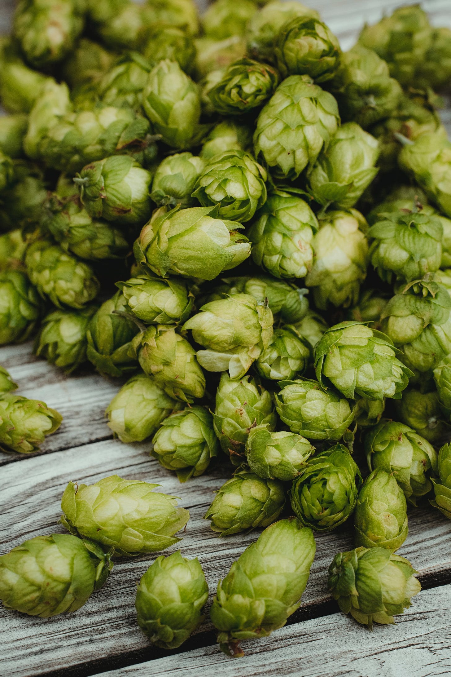 Hop flower cones used for hop extraction in beer brewing