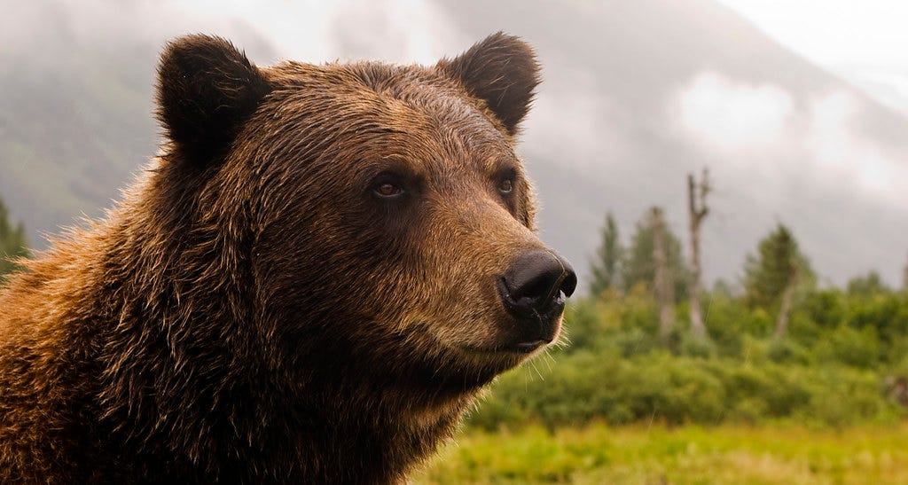 """""""Grizzly Bear in Alaska"""" by Princess-Lodges is licensed under CC BY-NC-ND 2.0"""