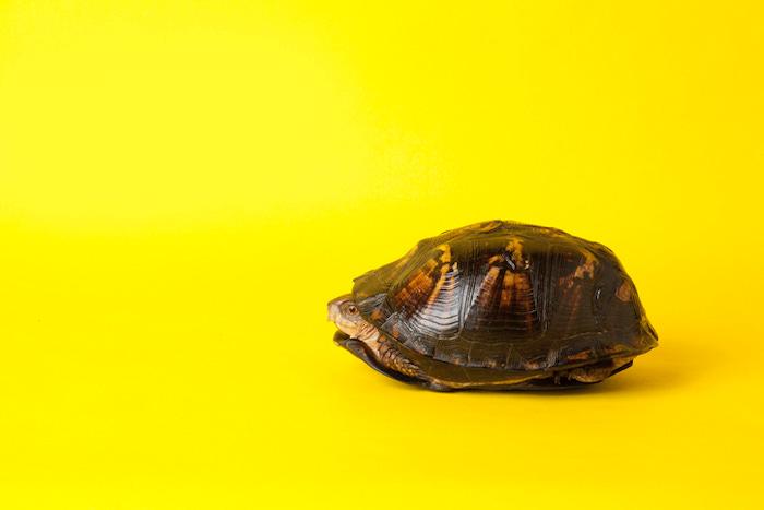 Peaking Turtle.jpg
