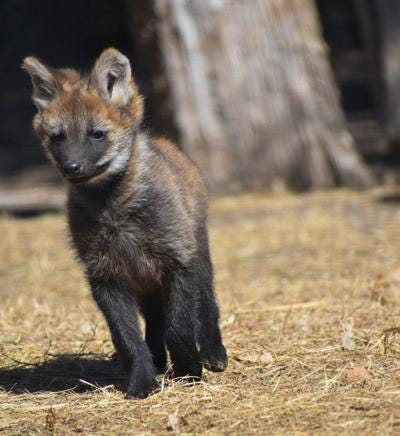 Maned Wolf Pups Born at Sunset Zoo | News | wamegotimes.com