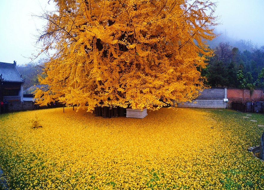 1400-old-ginkgo-tree-yellow-leaves-buddhist-temple-china-1