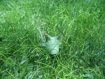 Conch_seagrass