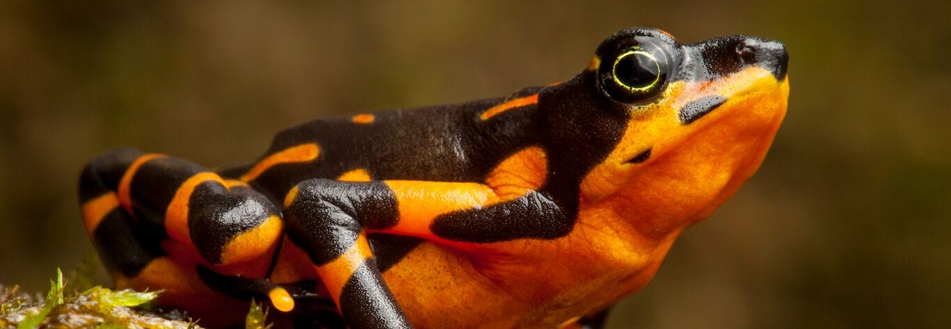 Harlequin Toads - Global Wildlife Conservation