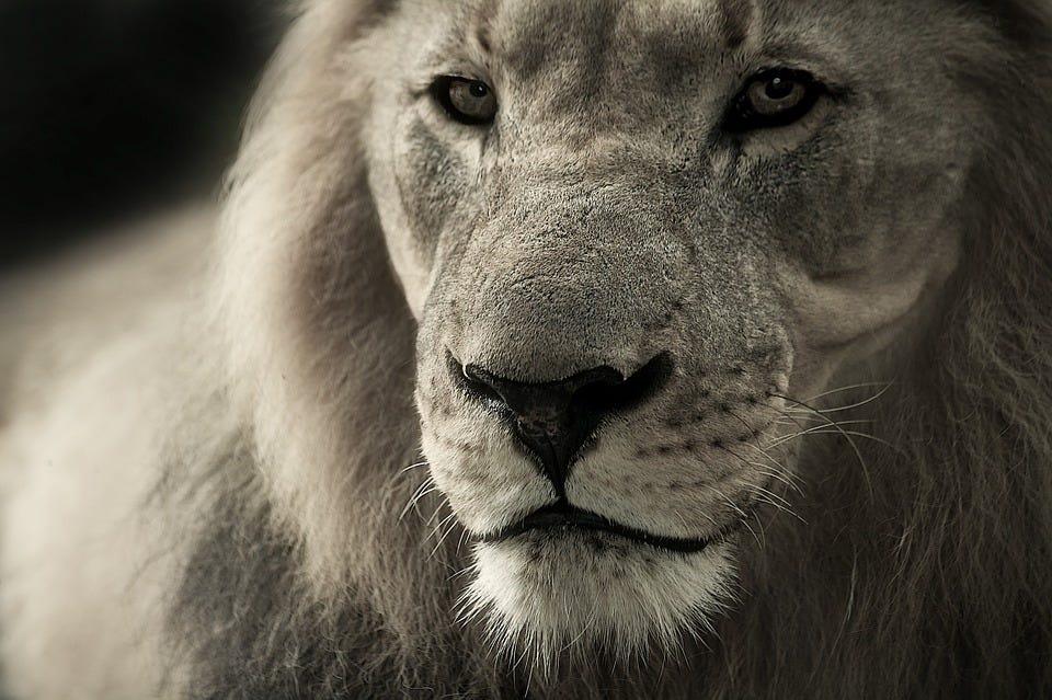 Lion, King, Face, Head, Lion Face, Lion Head, Wild Cat