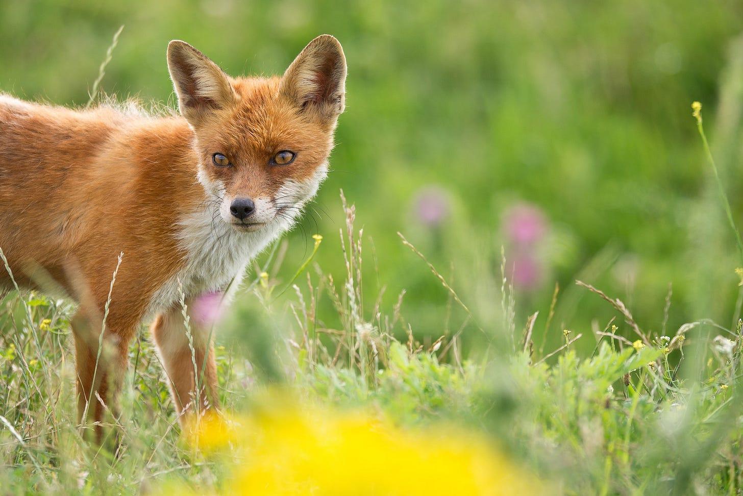 The fox outside my window