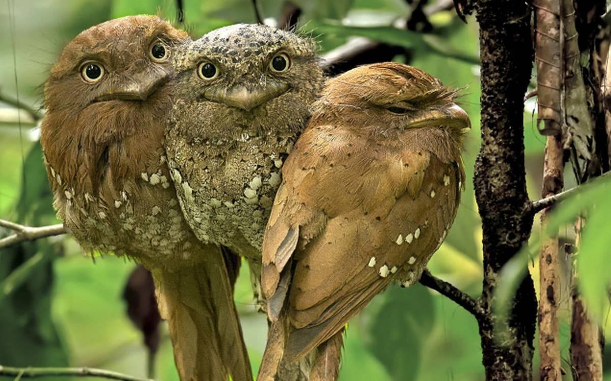 frogmouth bird